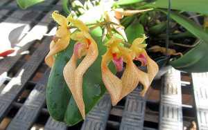 Bulbophyllum-bicolor