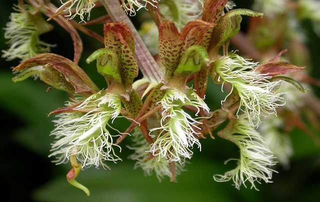 Catasetum-barbatum