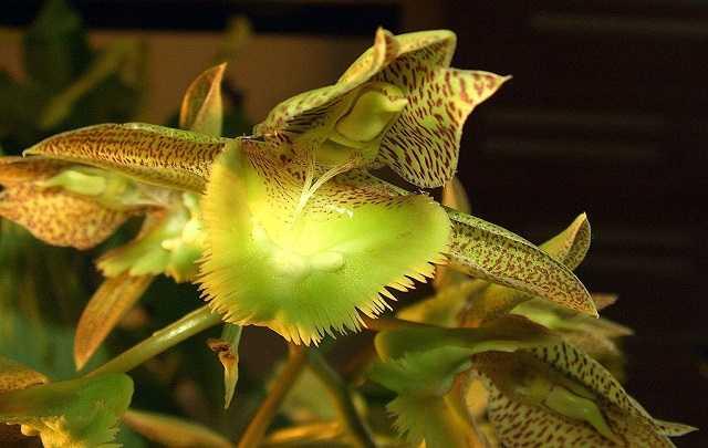 Catasetum-fimbriatum