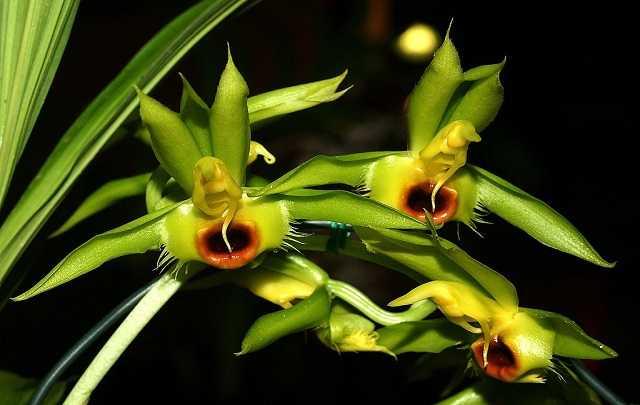 Catasetum-osculatum-1-1