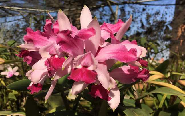 Cattleya-intermedia