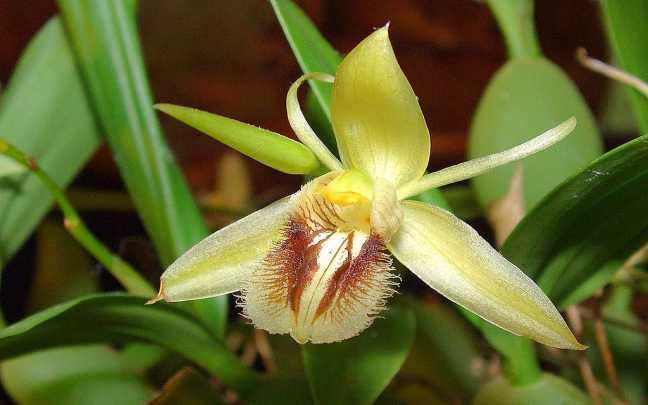 Coelogyne-fimbriata