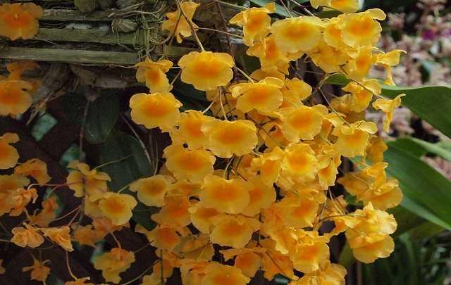 Dendrobium-Agregatum-3