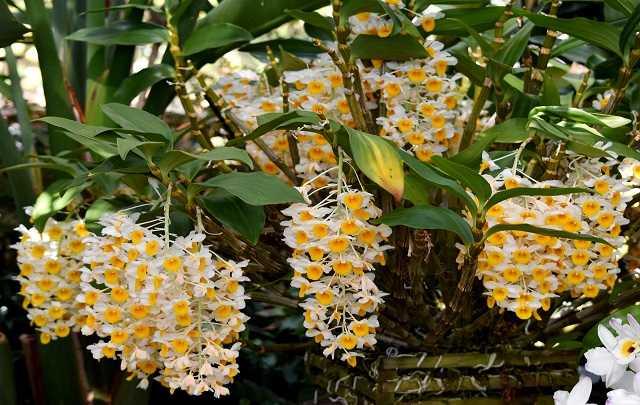Dendrobium-Thyrsiflorum