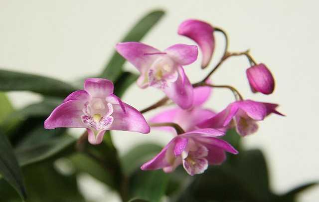 Dendrobium-kingianum
