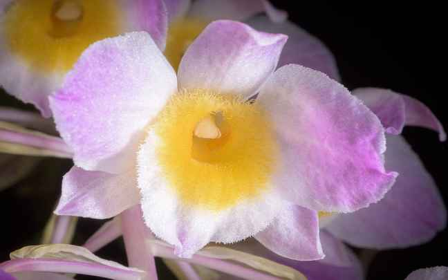 Dendrobium_amabile