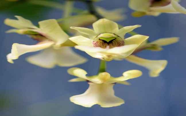 Dendrobium_angustipetalum