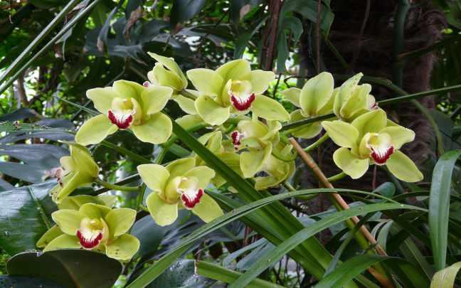 Orquidea-Cymbidium