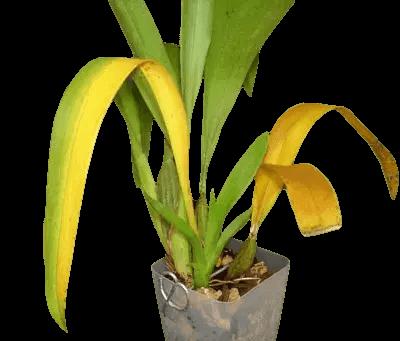 Orquidea-con-mancha-amarilla-en-las-hojas