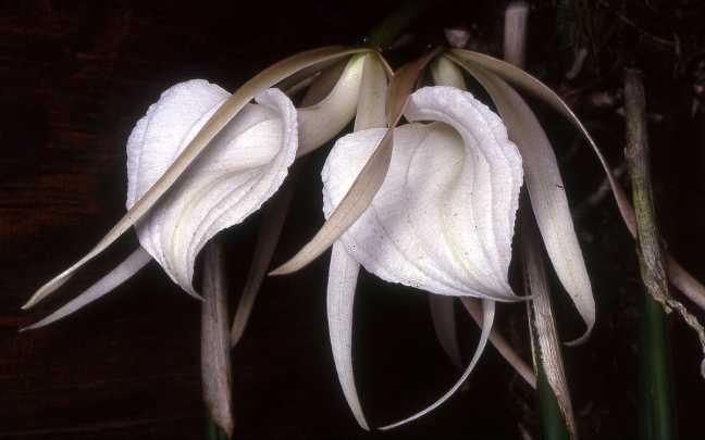 Orquideas-Brassavola