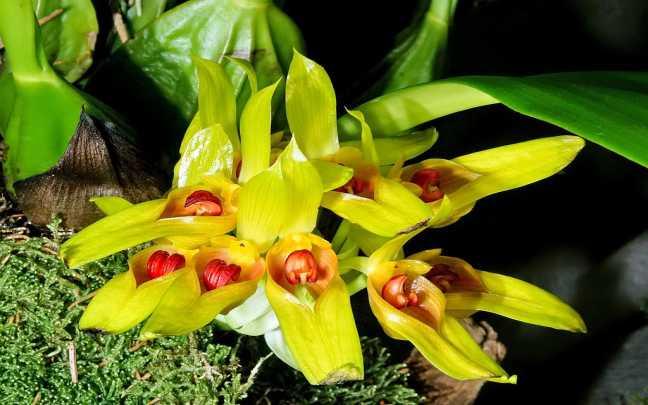 Orquideas-Bulbophyllum