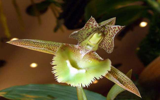 Orquideas-Catasetum