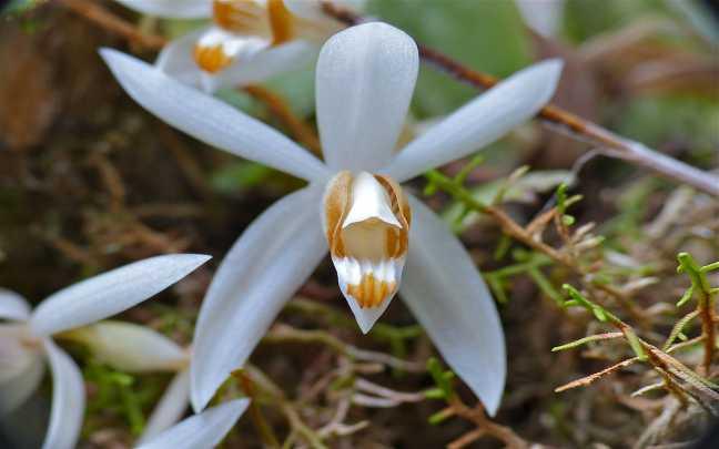 Orquideas-Coelogyne