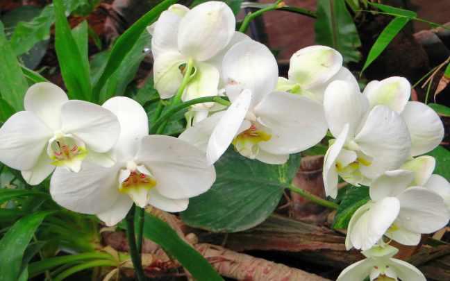 Orquideas-Cymbidium-1