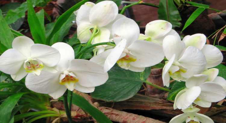 Orquideas-Cymbidium-foto-destacada