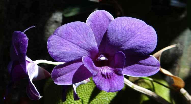 Orquideas-Dendrobium-foto-destacada