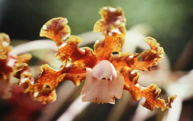 Orquideas-Laelia
