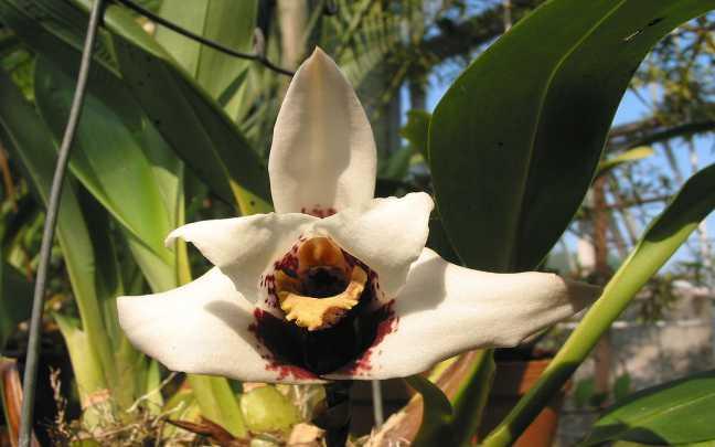 Orquideas-Maxillaria