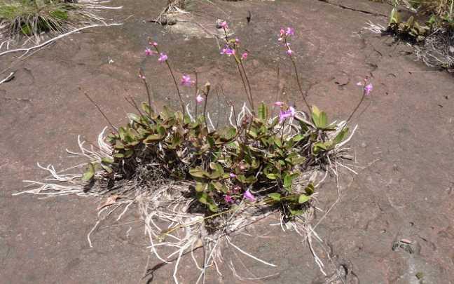 Orquideas-Rupicolas