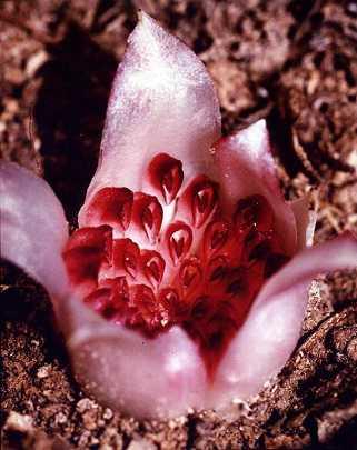 Orquideas-Saprofitas