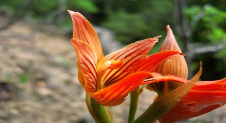 orquideas-litofitas-humicas-y-saprofitas