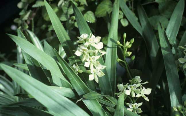 Epidendrum-fragrans