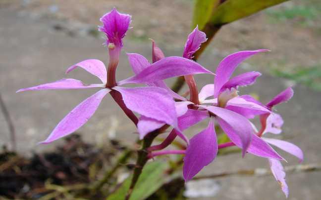 Epidendrum-imatophyllum