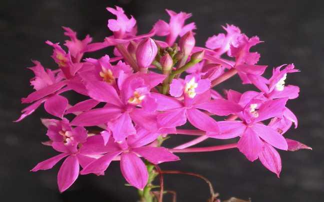 Orquideas-Epidendrum