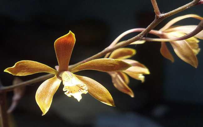 Orquideas-encyclia