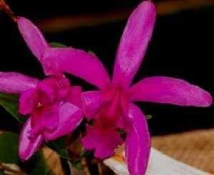 Cattleya-intermedia-sanguinea