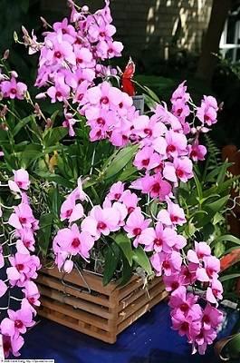 Como-hacer-Dendrobium-Phalaenopsis-Florir