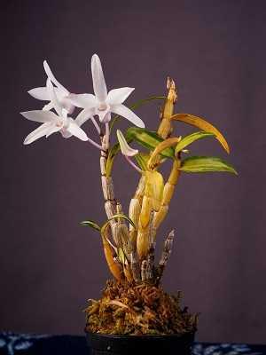 Dendrobium-Moniliforme-2