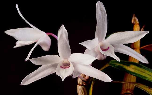 Dendrobium-Moniliforme