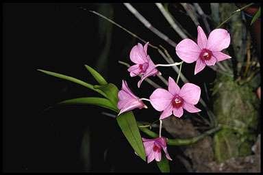 Dendrobium-bigibbum-MINI