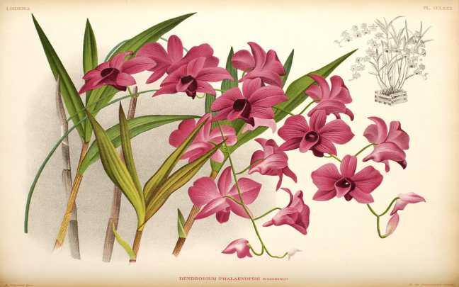 Orquideas-Denphal