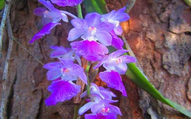 Orquideas-aerides