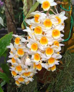 Dendrobium-thyrsiflorum-4