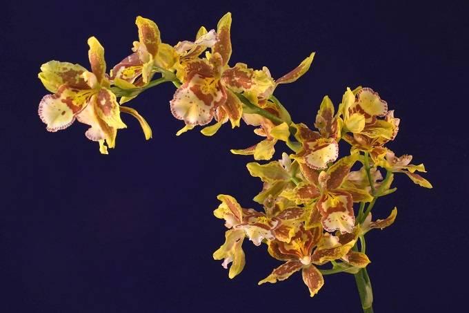 Flores-oncidium