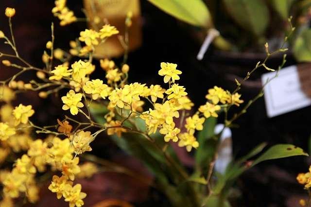 Oncidium-Twinkle-Yellow-Fantasy-1