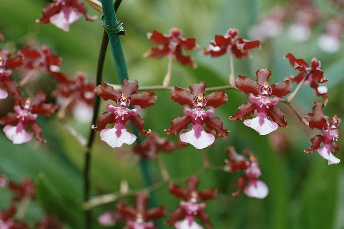 Oncidium-con-flores-marrones