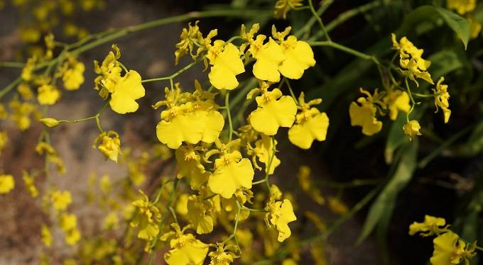 orquidea-de-lluvia-dorada-flores
